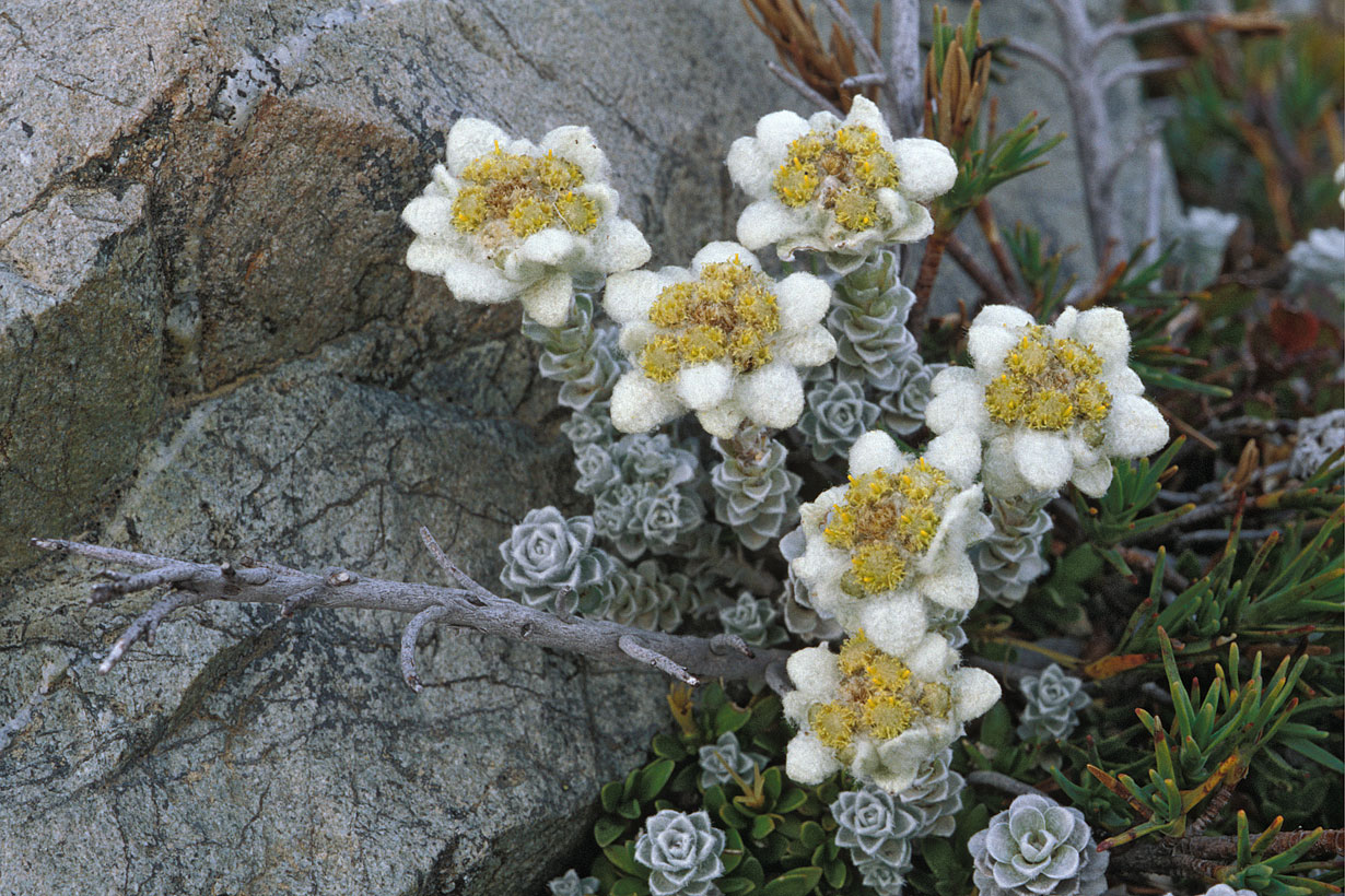 South Island Edelweiss - Leucogenes grandiceps