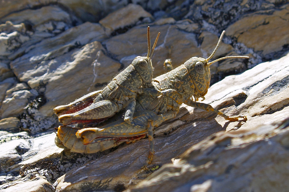 Alpine Grasshopper